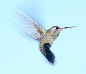 colombe, aigle, corbeau version natha yoga