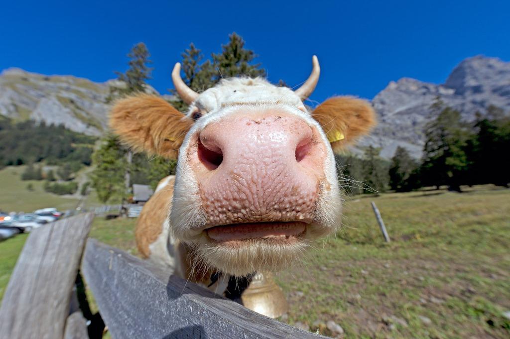 Et Oui Pour Decouvrir 3 Postures De Natha Yoga Inspirees Deux Animaux Nos Paturages La Vache