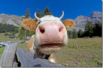 cow-867833_1920