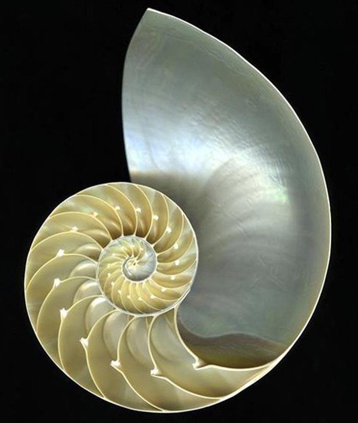 """Résultat de recherche d'images pour """"nautile"""""""